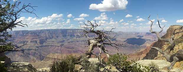Un vieil arbre dans le Grand Canyon par une splendide journée.